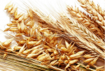 High Quality Barley Seeds For Animal Feed