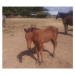USA New Born Small Live Race Horse  Racing Horse For Horse Race Game