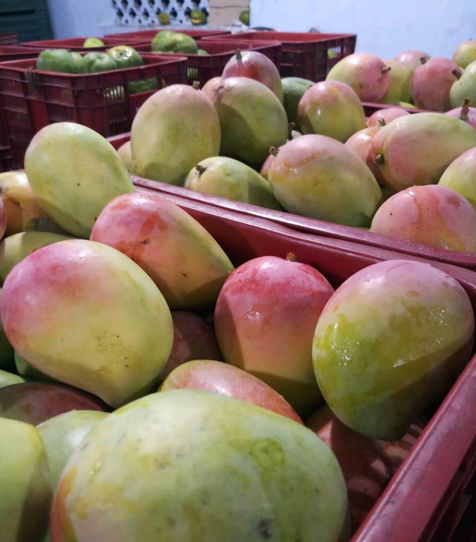 Export Quality Fresh Quality Mangoes From Pakistan/Import Fresh Quality