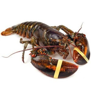 Grade A Boston lobster available