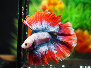 ็Halfmoon Thailand Betta Fish Top Quality From Thailand