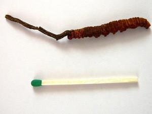 Mushrooms & Truffles Detan Dried Cordyceps Militaris