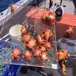 fresh and frozen spanner crab for sale