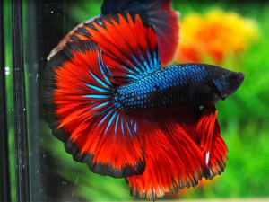 Halfmoon Betta Fish Top Quality From Thailand