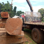 Timbers for export : Teak and Afzelia