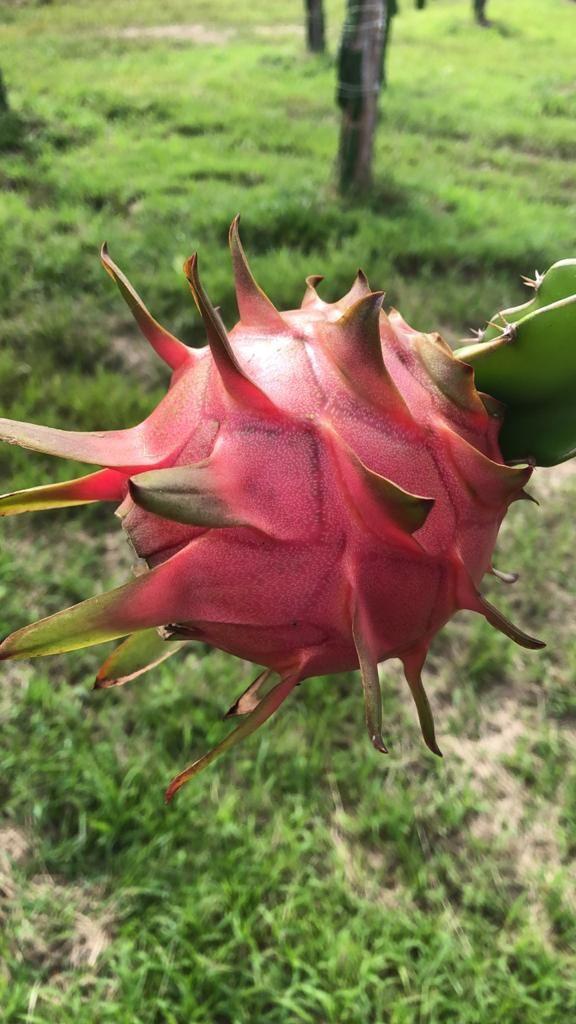 Import Pitaya do Brasil (Dragon Fruit) from Brazil