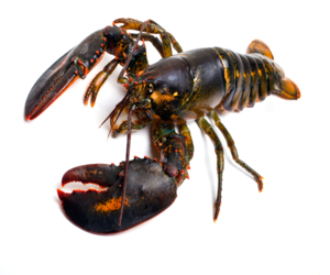 Top Quality Live Canadian Lobster