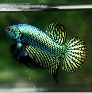 Wild Betta Fish Top Quality From Thailand