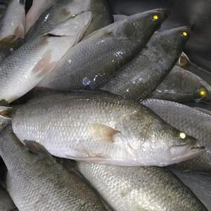 fresh frozen basa fish