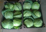 Free Tax High quality round fresh cabbage / cabbage powder with HACCP global GAP Certificate Free Tax - Vietnam red cabbage / green cabbage